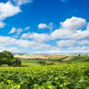 wijngaarden in Reims